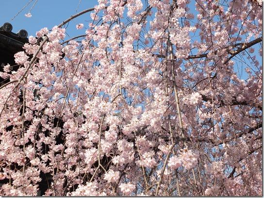 2017京都桜 422