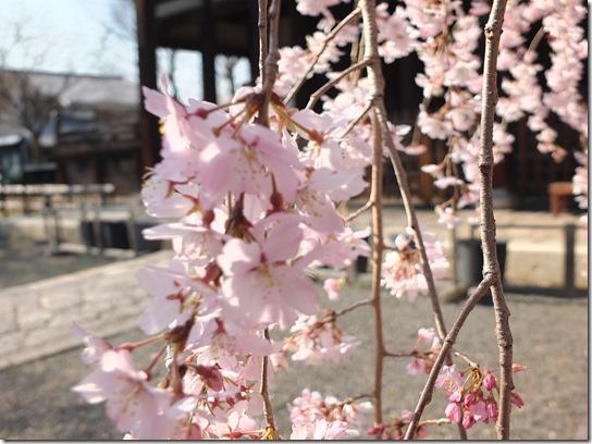 2017京都桜 425