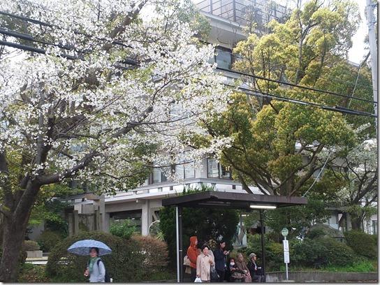 鎌倉 牡丹 桜 428
