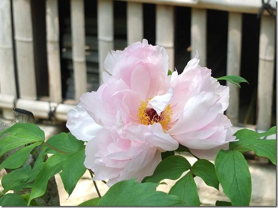 牡丹 関西 2017 433