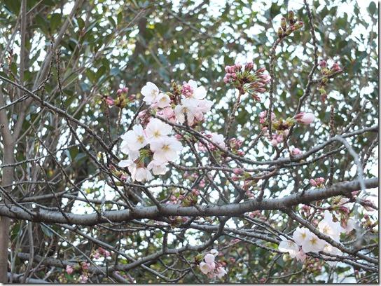 2017京都桜 449