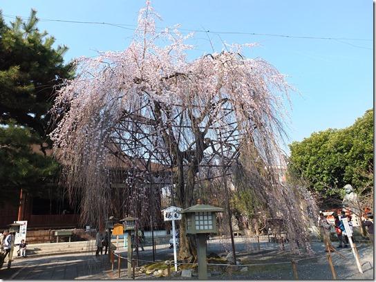 2017京都桜 454