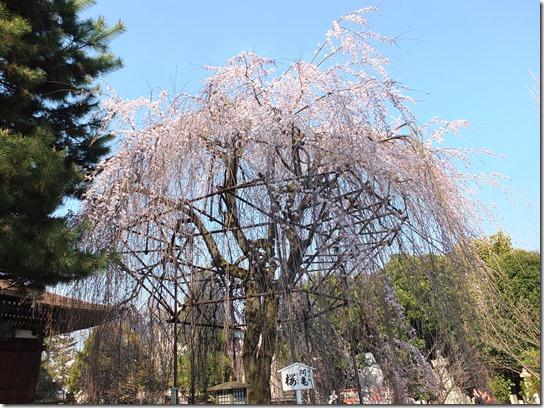 2017京都桜 455