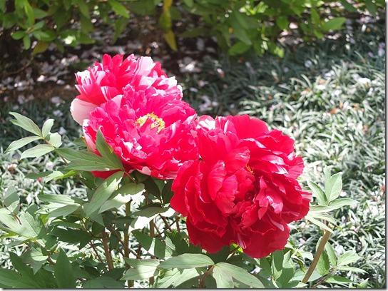 鎌倉 牡丹 桜 455