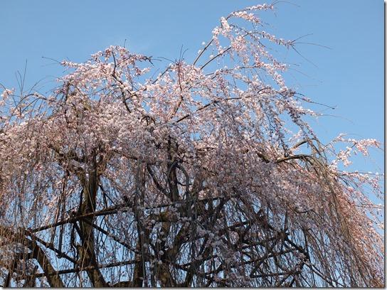 2017京都桜 456
