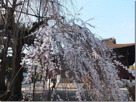 2017京都桜 462