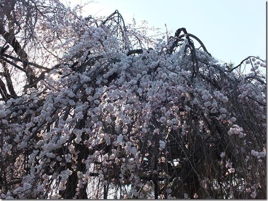 2017京都桜 467