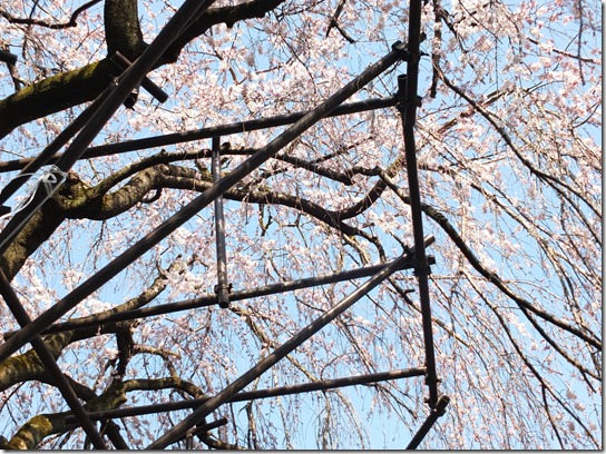 2017京都桜 475