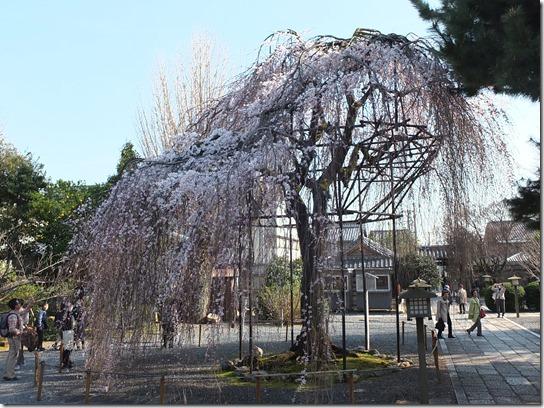 2017京都桜 478