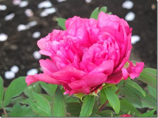 鎌倉 牡丹 桜 479