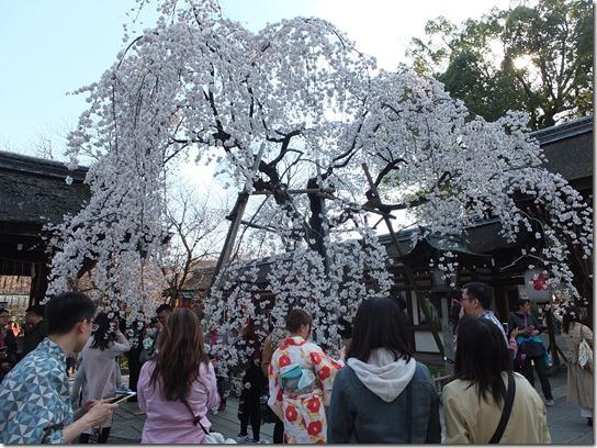 2017京都桜 493