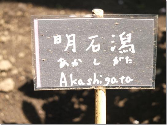 鎌倉 牡丹 桜 493