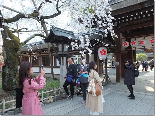 2017京都桜 494