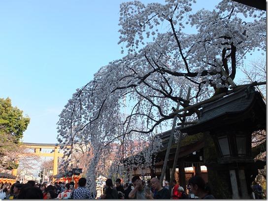 2017京都桜 498