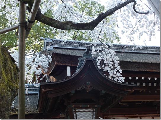 2017京都桜 500