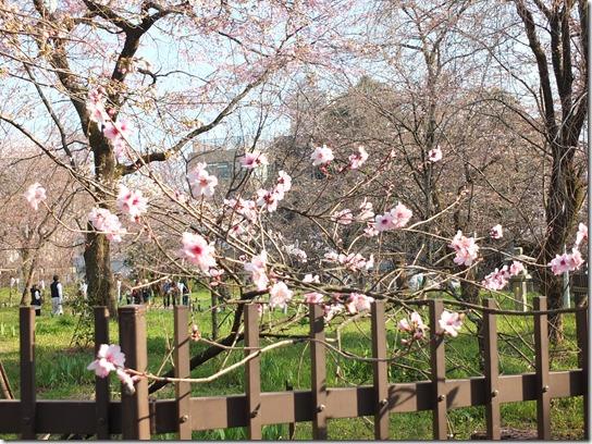 2017京都桜 501