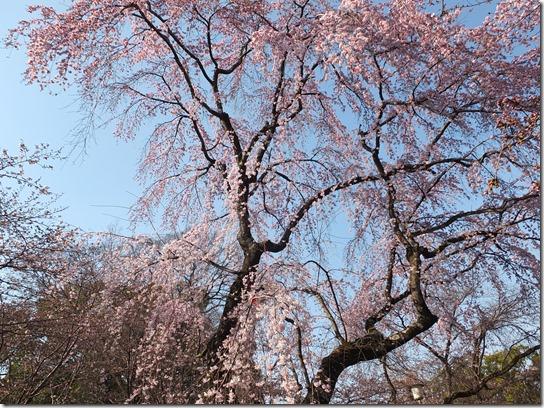 2017京都桜 503