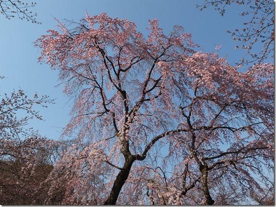 2017京都桜 505