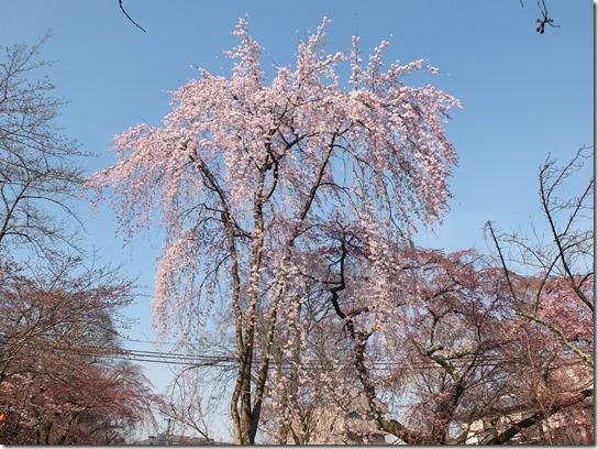 2017京都桜 511