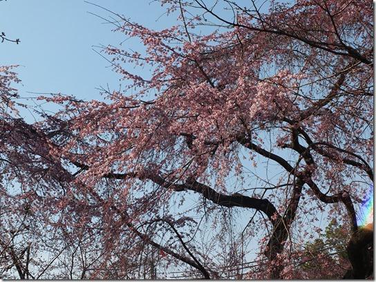 2017京都桜 518