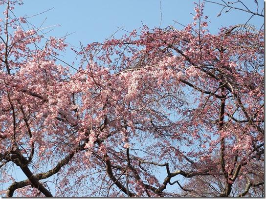 2017京都桜 519