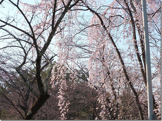 2017京都桜 521