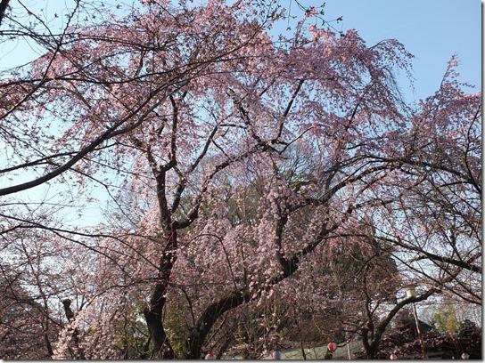 2017京都桜 525