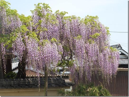 牡丹 関西 2017 528