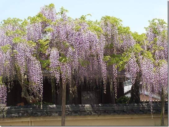 牡丹 関西 2017 529