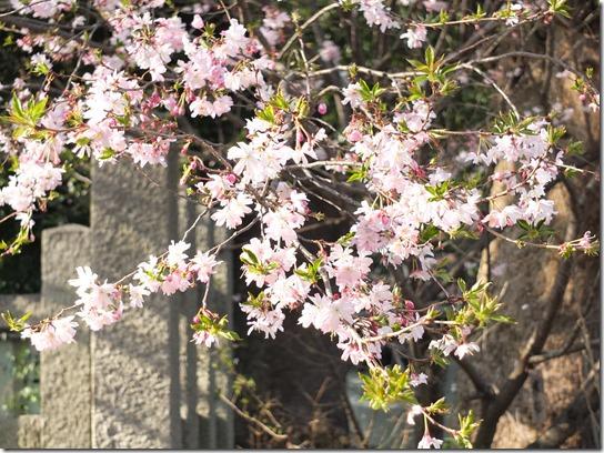 2017京都桜 531
