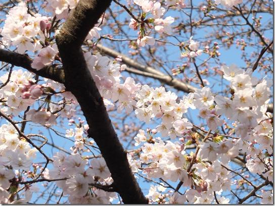 2017京都桜 547