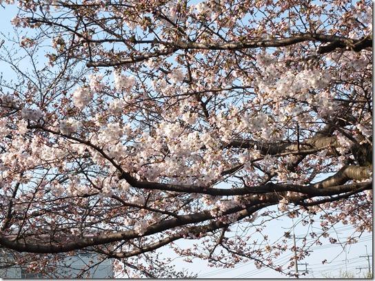 2017京都桜 549