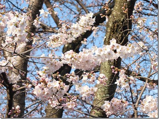2017京都桜 550