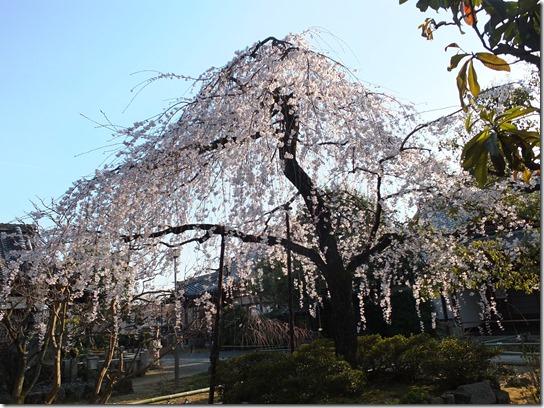 2017京都桜 551