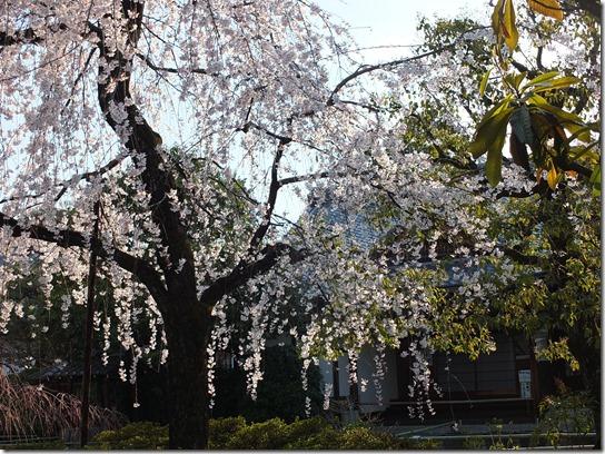 2017京都桜 553