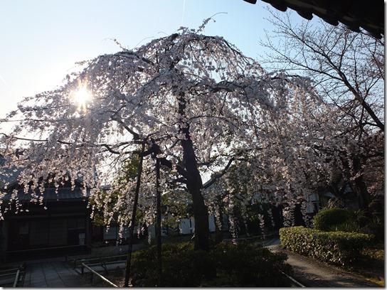 2017京都桜 555