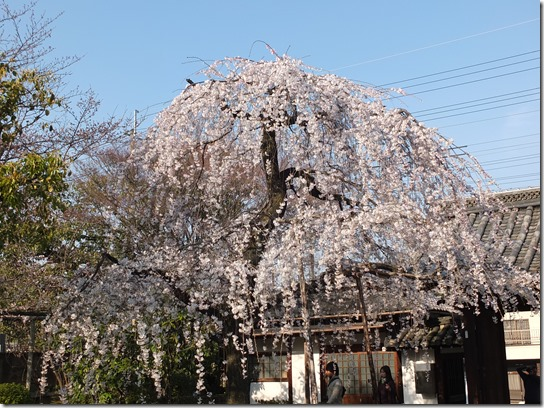 2017京都桜 559