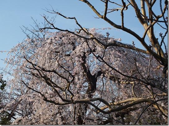 2017京都桜 562
