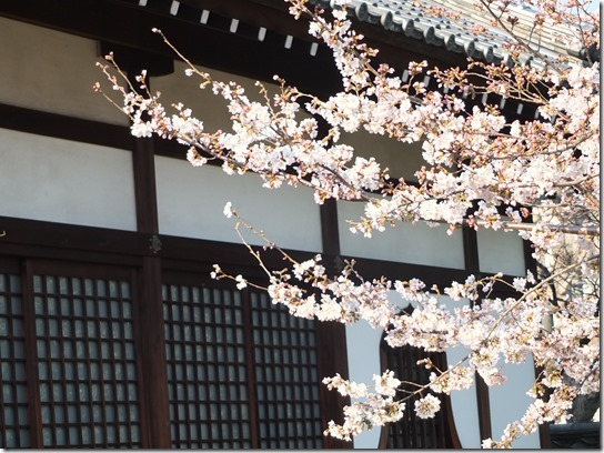 2017京都桜 569