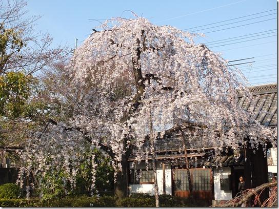 2017京都桜 570