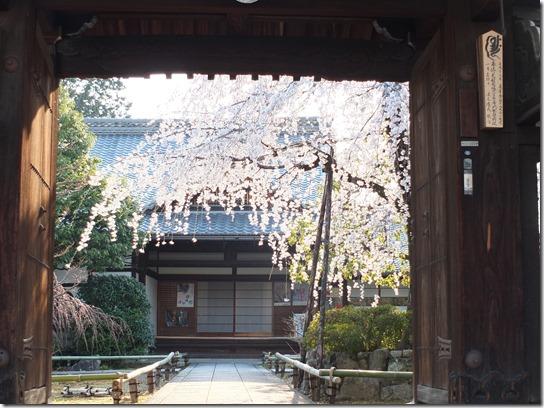 2017京都桜 579