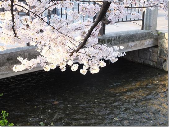 2017京都桜 656