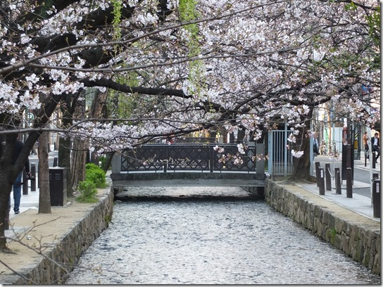 2017京都桜 657