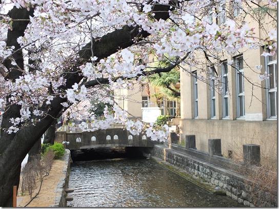 2017京都桜 666