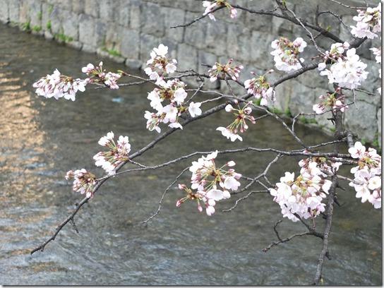 2017京都桜 672