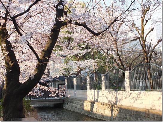 2017京都桜 674