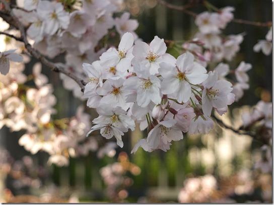 2017京都桜 676