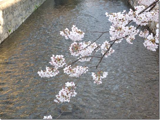 2017京都桜 677