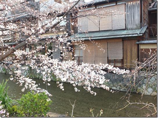2017京都桜 708