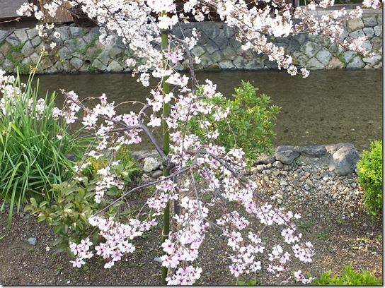 2017京都桜 710
